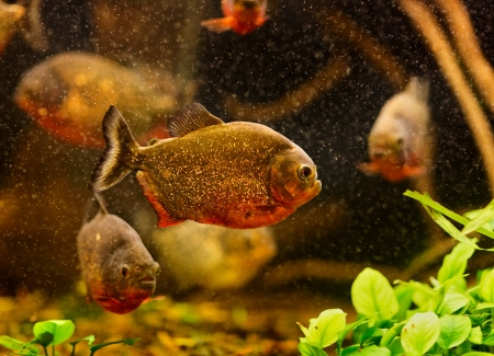 Red piranha (Serrasalmus nattereri) swimming underwater Stock Photo - 17675835