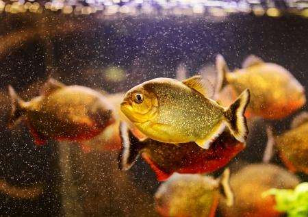 Red piranha (Serrasalmus nattereri) swimming underwater Stock Photo - 17675839