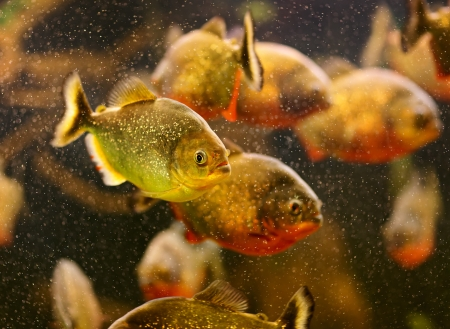 Red piranha (Serrasalmus nattereri) swimming underwater photo