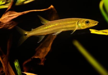 Freshwater Barracuda fish (Ctenolucius hujeta) swimming underwater Stock Photo - 17675820