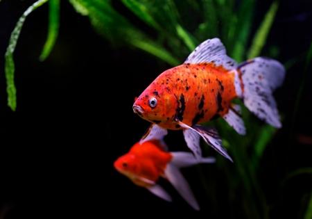 Goldfish (Carassius auratus auratus) swimming underwater Stock Photo - 17675818