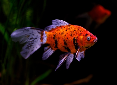 Goldfish (Carassius auratus auratus) swimming underwater Stock Photo - 17675817