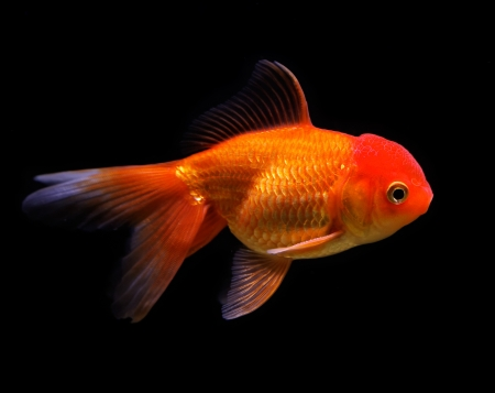 Goldfish (Carassius auratus auratus) swimming underwater Stock Photo - 17675815