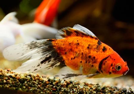 carassius auratus: Goldfish (Carassius auratus auratus) swimming underwater Stock Photo