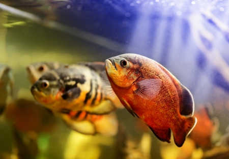 ocellatus: Oscar fish (Astronotus ocellatus) swimming underwater Stock Photo