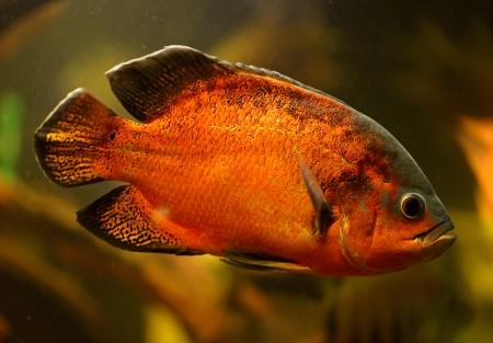 astronotus: Oscar fish (Astronotus ocellatus) swimming underwater Stock Photo