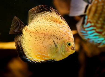 Discus fish (Symphysodon) swimming underwater Stock Photo - 17675832