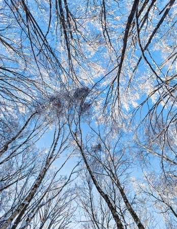 Crown of a trees covered with hoar frost in winter forest, overhead view photo