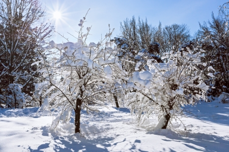 hoar: Winter landscape with two trees covered by hard snow and bright sun
