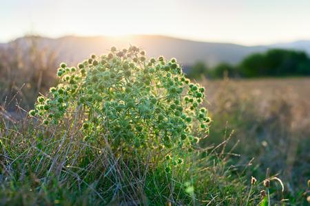 thorny: Eryngium campestre (field eryngo) flower thorny bush on sunset
