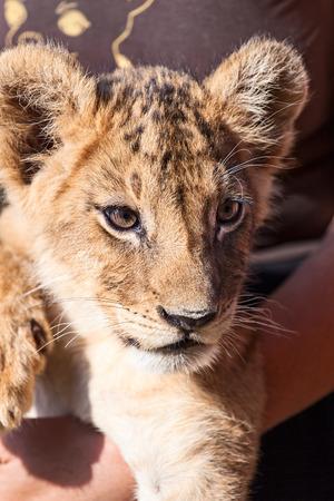 lion baby: Leone del bambino animale vicino testa ritratto