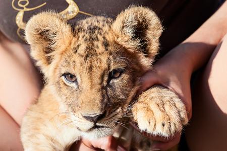 close up   head: Baby lion animal close up head portrait