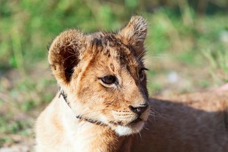 leon bebe: León animal bebé cierre de cabeza retrato Foto de archivo