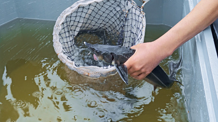fish breeding: Sturgeon (starlet) is catching and killing in water tank before sale on a fish farm