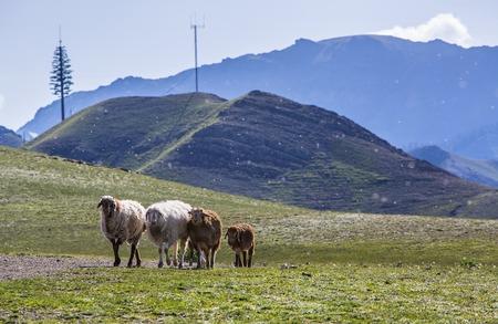xinjiang: Lake, Xinjiang Sheep