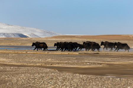 la vida silvestre en Kekexili