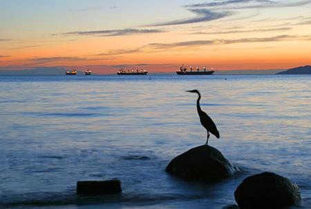 great bay: English Bay Great Blue Heron