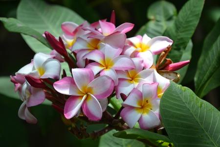 beautiful plumeria of hawaii