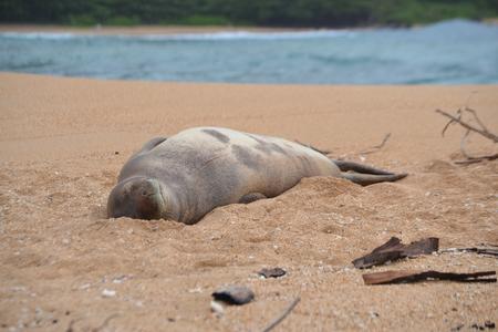 Resting Monk Seal on Kauais North Shore Imagens