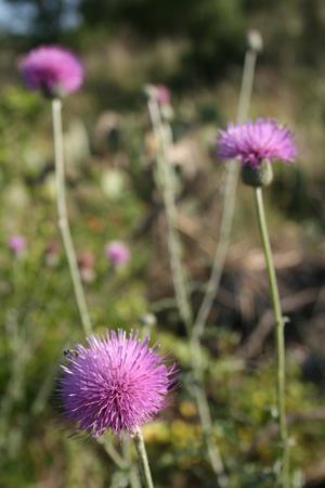 Puffy purple thistle flowers 스톡 콘텐츠
