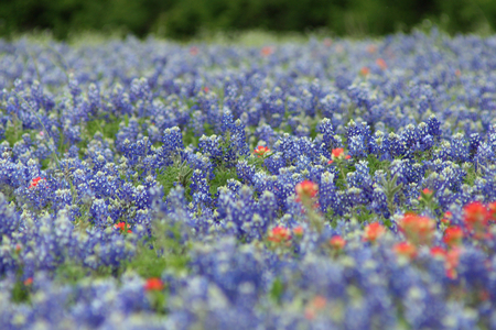 field of bluebonnets and indian paint brush