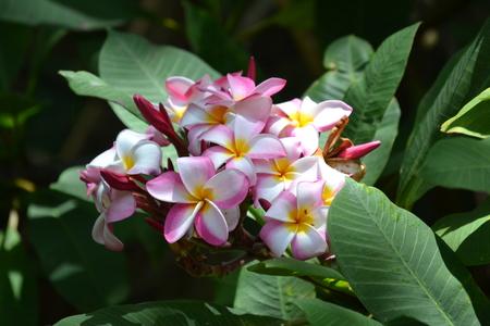 Plumeria blooms on Kauai