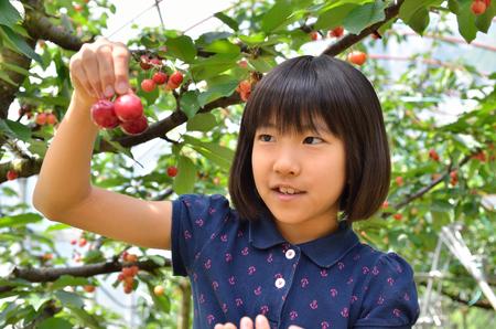 picking: Girls enjoy cherry picking