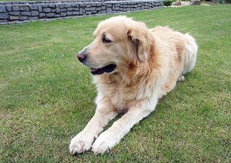 cutouts: Golden hovawart - peaceful resting dog