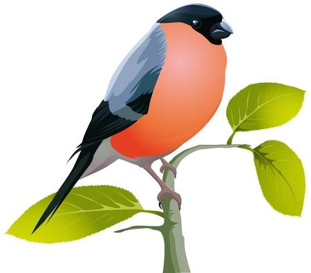 ¡rboles con pajaros: Pyrrhula hermosa ave