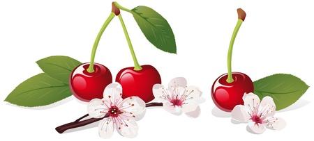 Natura morta con fiori di ciliegio e ciliegio Vettoriali