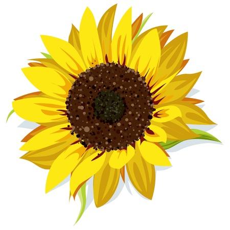 sunflower isolated: girasole isolato su bianco