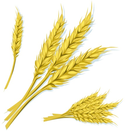 wheat Illustration