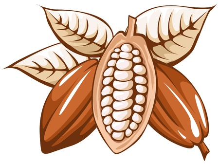 cocoa fruit: cocoa bean  Illustration