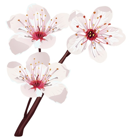 plum flower: cherry blossom  Illustration