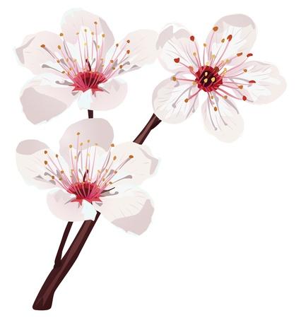 kersenboom: kersenbloesem