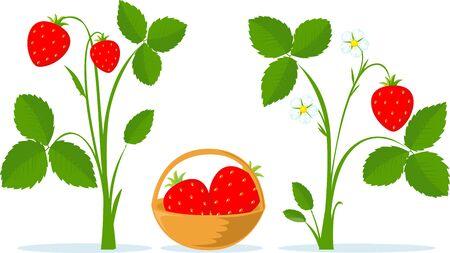Strawberry Fruit, Leaves and Flower Flat Vector Illustration