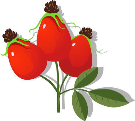 Rose Hip Vector Illustration Isolated on white Background