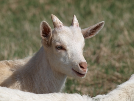 smiling goat in the pasture  South Bohemia photo