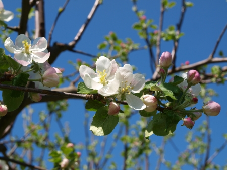 blossoming apple tree with sky in the background. South Bohemia photo