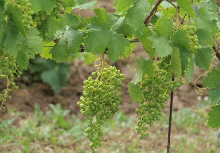 branch with grapes vine. South Moravia photo