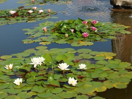 flores de agua en el jard?n del castillo. Moravia del Sur Foto de archivo - 18358511