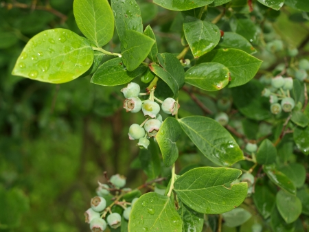 immature: immature bush blueberries. South Bohemia
