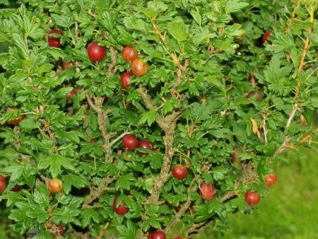 gooseberry bush: maturazione boscaglia di uva spina. Boemia del Sud