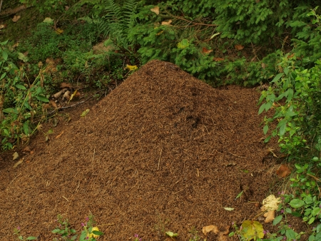 anthill in the summer forest. South Bohemia photo