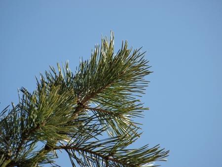 pine branch: pine branch , blue sky background. South Bohemia