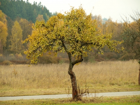 recluse: old apple tree in autumn. South Bohemia