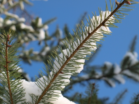 Snow on a branch of spruce, blue background. South Bohemia photo