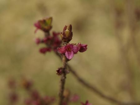 daphne: flor daphne general de Bohemia del Sur