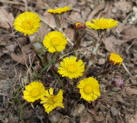 Spring medicinal herb coltsfoot   South Bohemia photo
