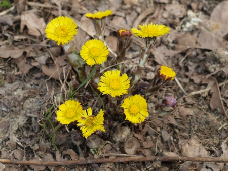 Spring medicinal herb coltsfoot . South Bohemia photo